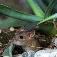 【夕やけ大衆EYE】AV界のネズミの嫁入り現象